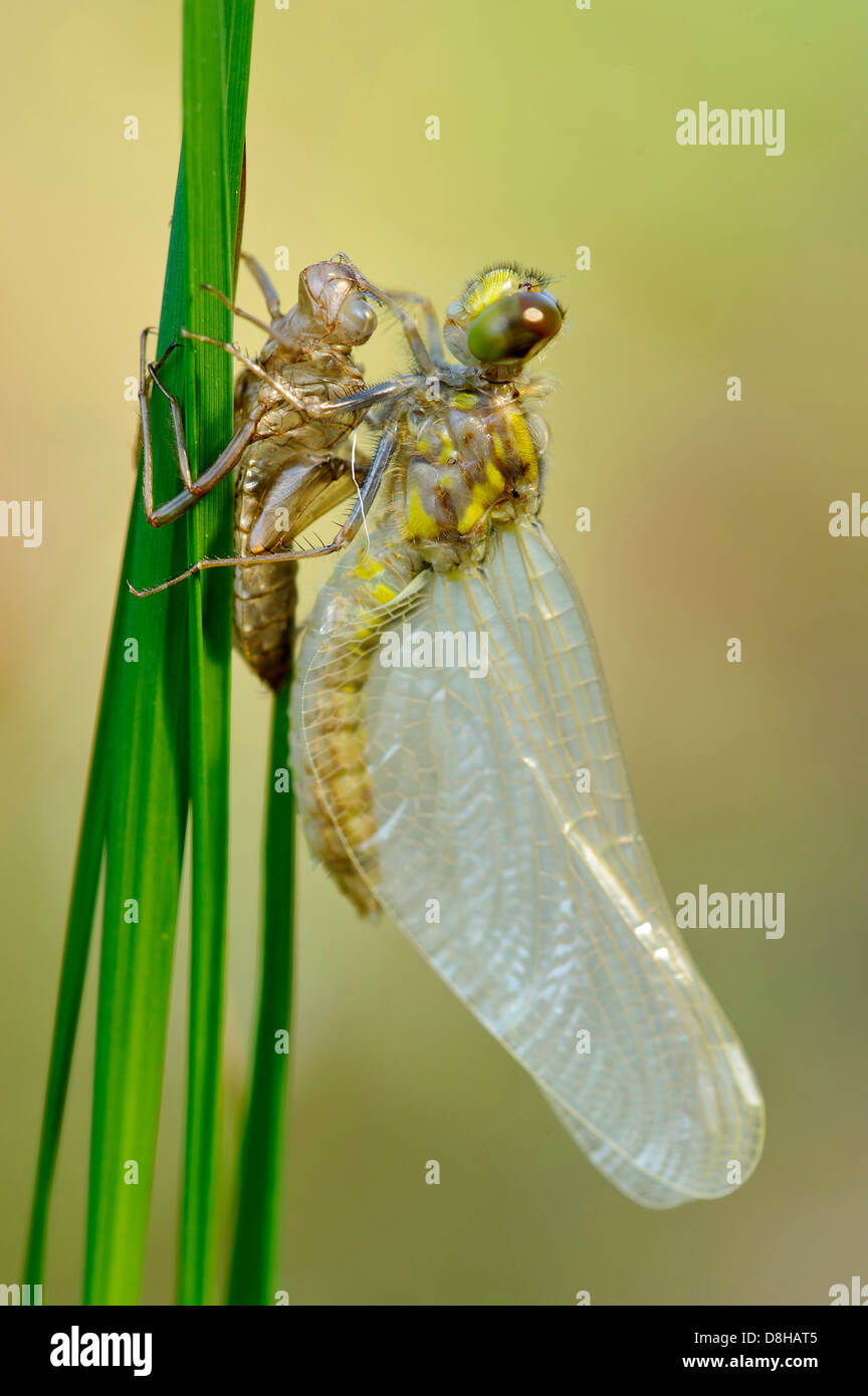 metamorphose of a four-spotted chaser, libellula quadrimaculata, goldenstedter moor, niedersachsen, germany - Stock Image