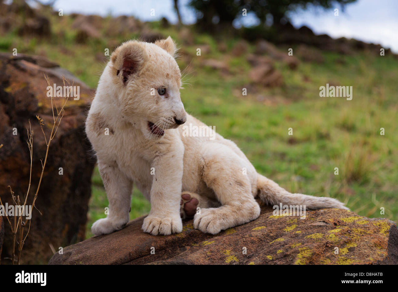White Lion cub sitting on a rock - Stock Image