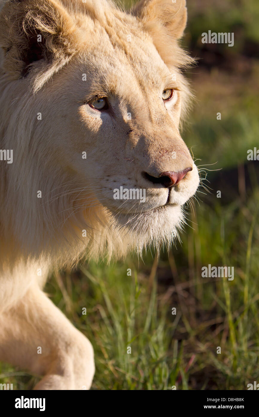 Male White Lion walking towards the camera.South Africa - Stock Image