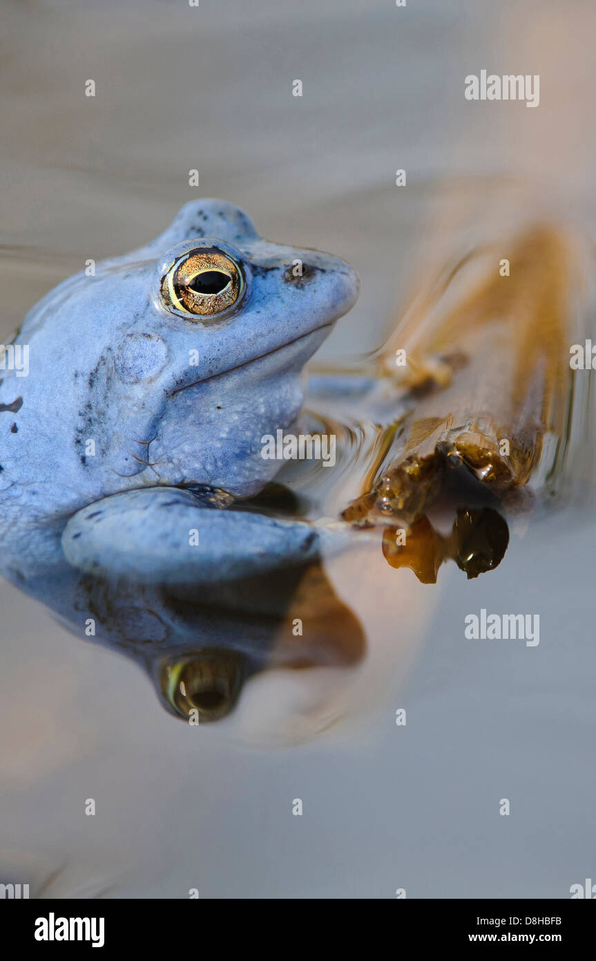 moor frog, male at mating season, rana arvalis, lower saxony, germany - Stock Image