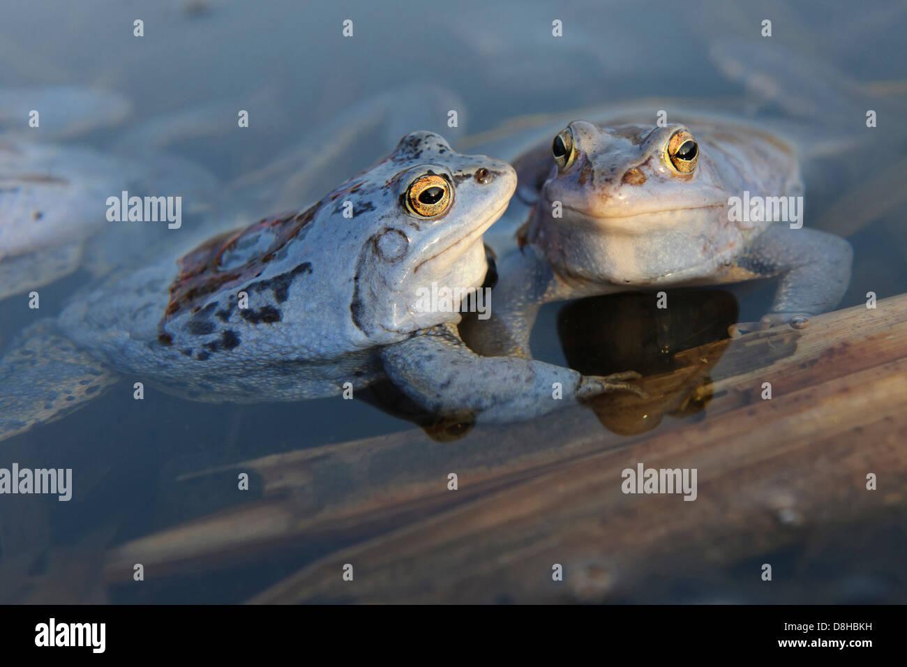 moor frogs, male at mating season, rana arvalis, lower saxony, germany - Stock Image