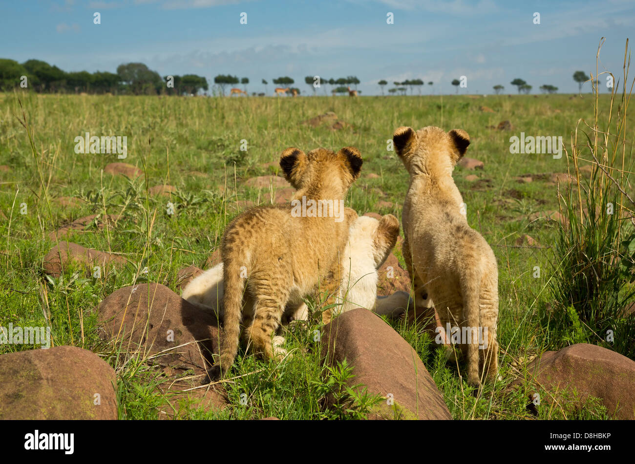 White and Tawny Lion cubs watching bucks. - Stock Image
