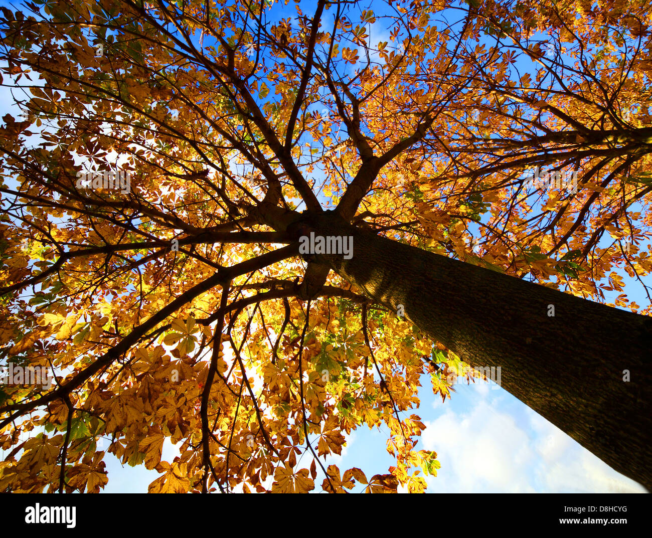 Looking up at a tree in autumn golden leaves - Stock Image