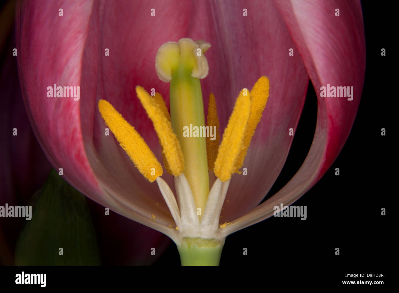 Macro Detail Of Pink Tulip Anthers and Stigma - Stock Image