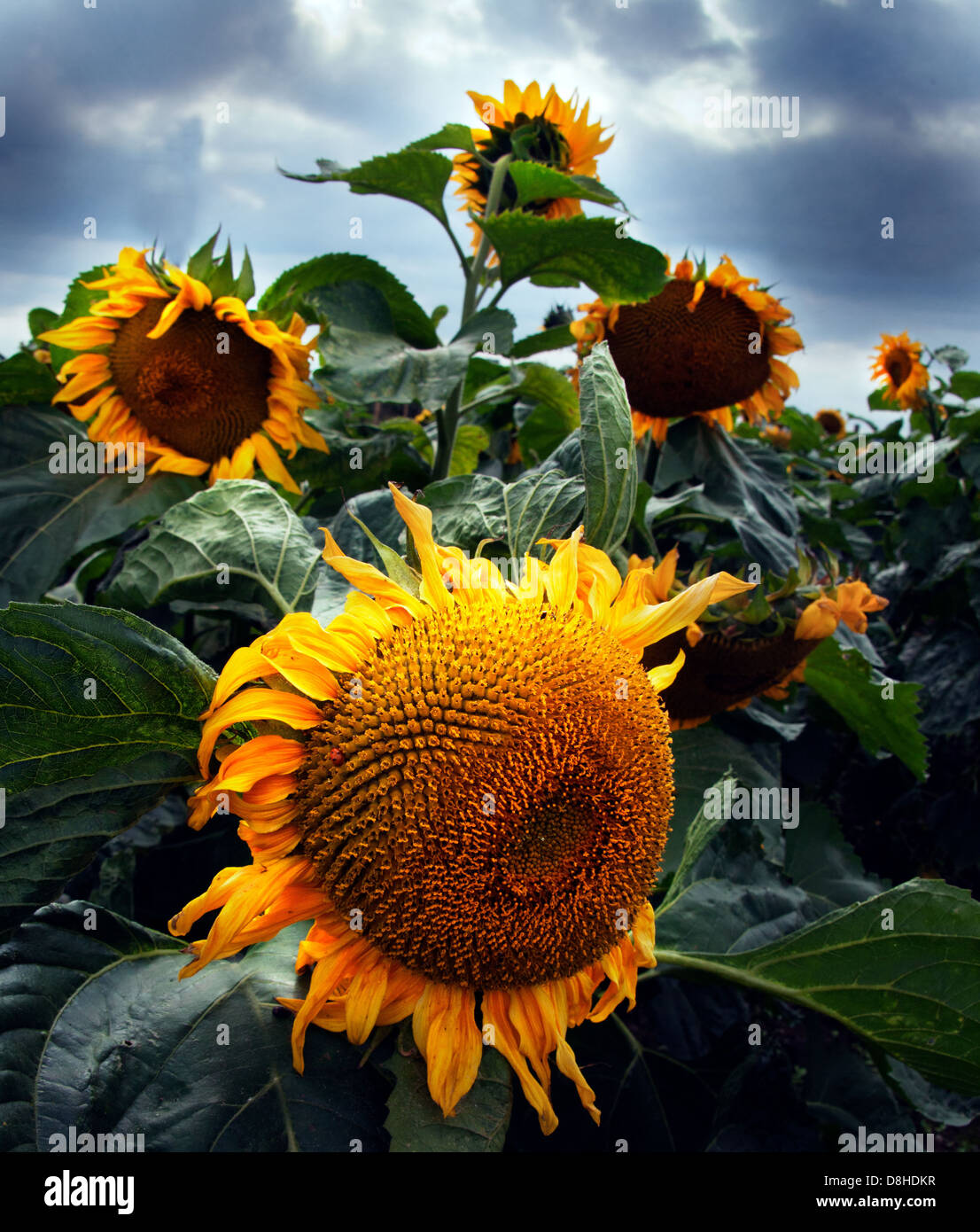 Orange sunflowers in a field with a moody gray sky behind - Stock Image