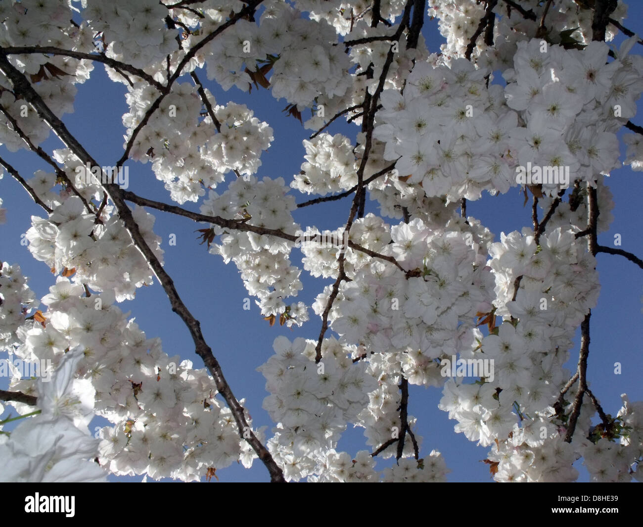 White Spring Cherry Blossom and a super clear blue sky, England UK - Stock Image