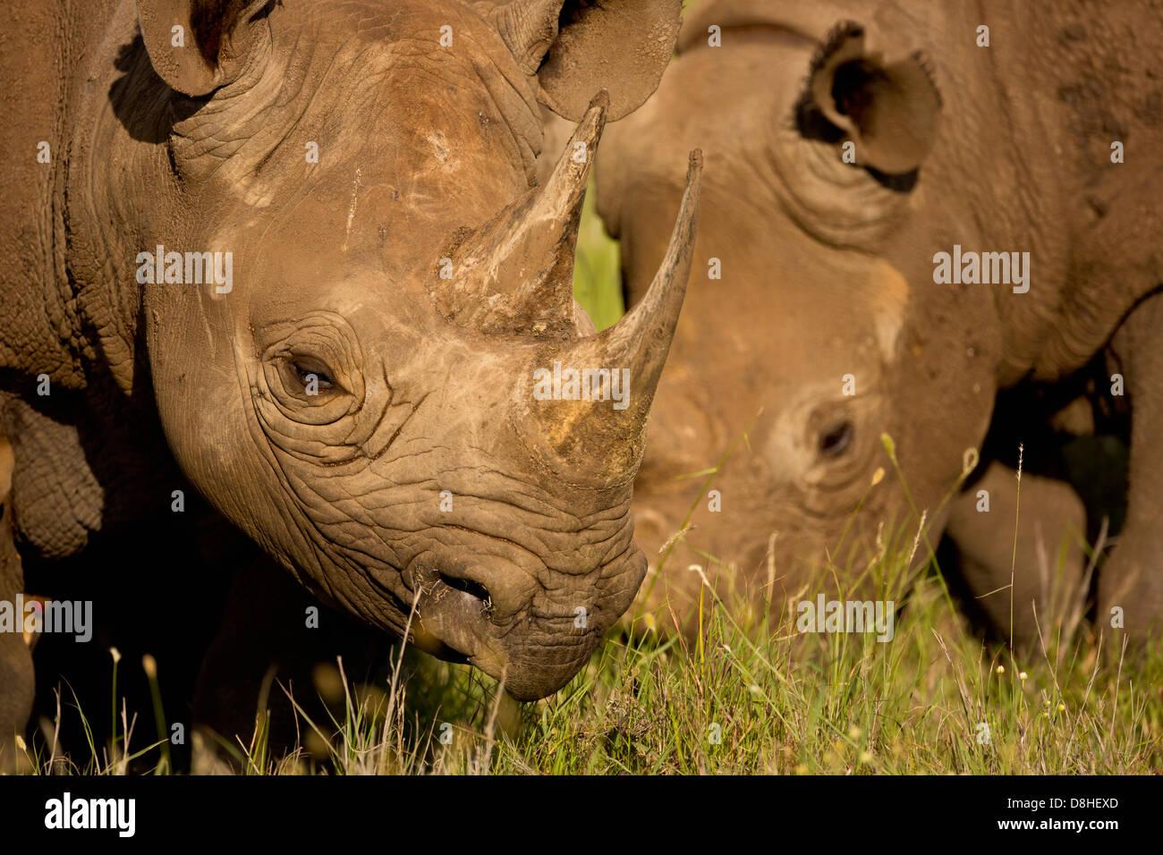 Two Black Rhinoceros.(Diceros bicornis) Kenya - Stock Image