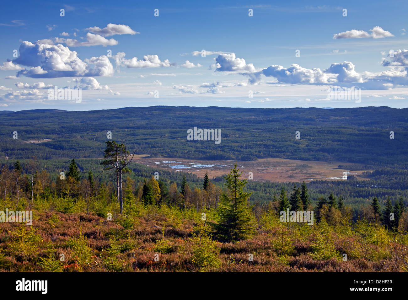Coniferous forest with Scots Pines (Pinus sylvestris), Dalarna, Sweden - Stock Image