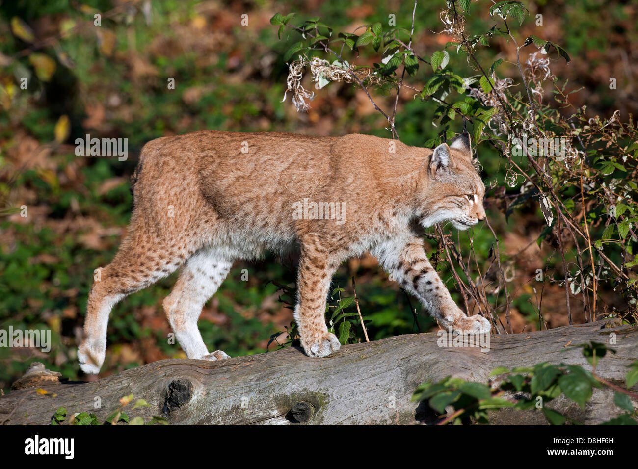 Eurasian lynx (Lynx lynx) walking over tree trunk in forest - Stock Image