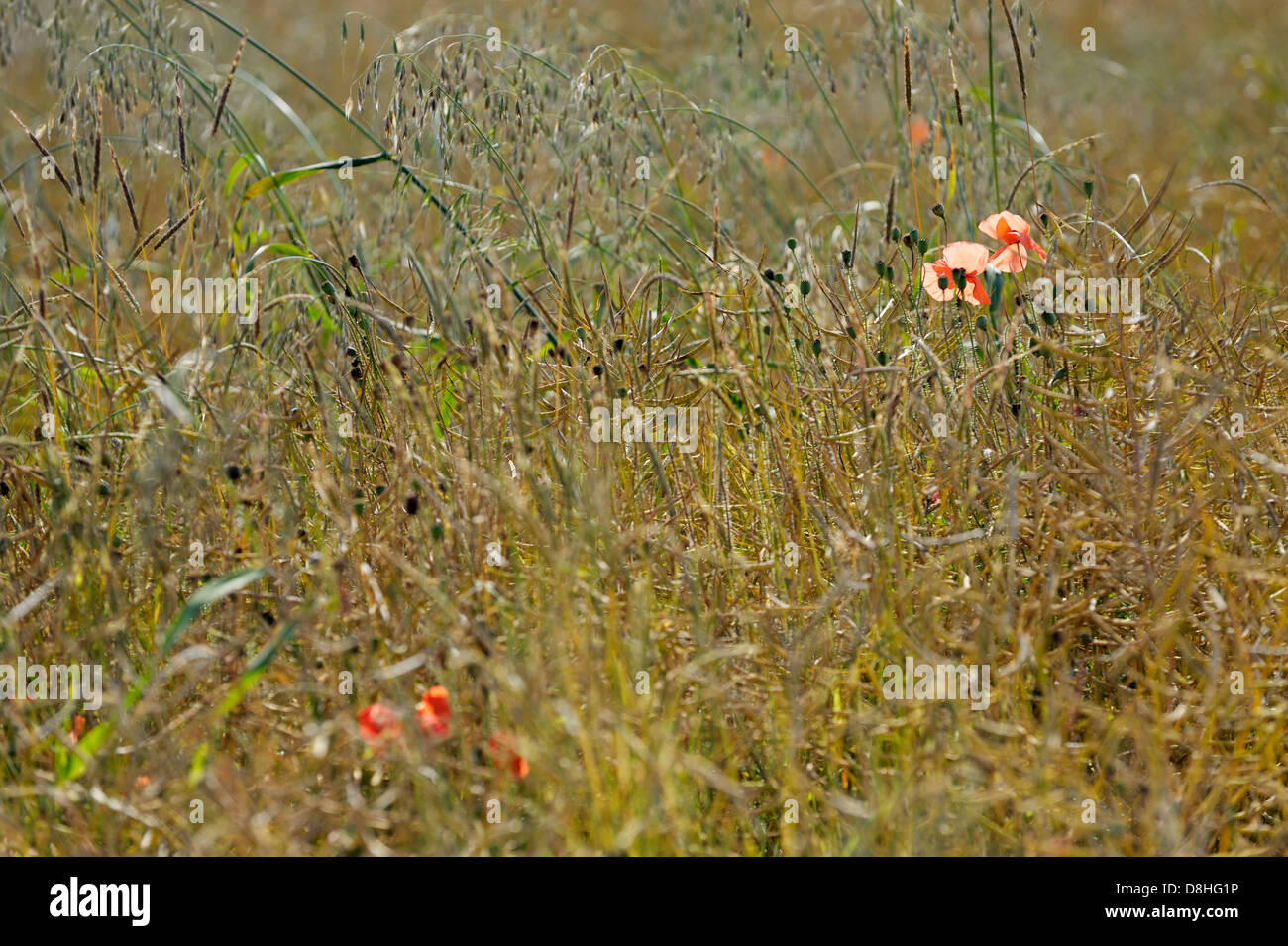 Grasses and poppies growing in English summer meadow hay field, Oxfordshire, England. Shallow depth of focus - Stock Image