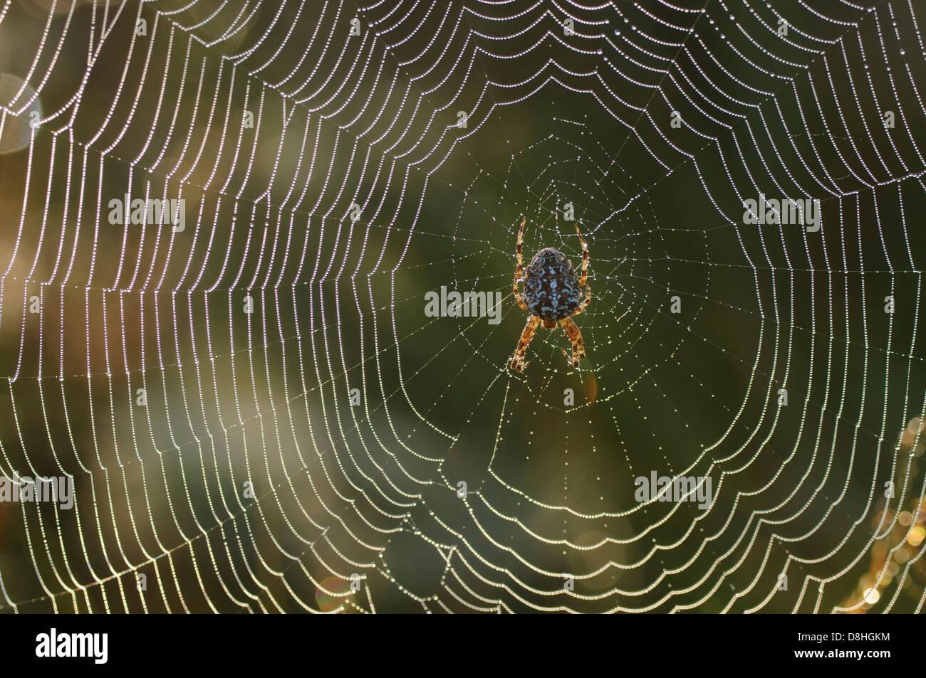 european garden spider sitting spider's net, araneus diadematus, goldenstedt, niedersachsen, germany - Stock Image