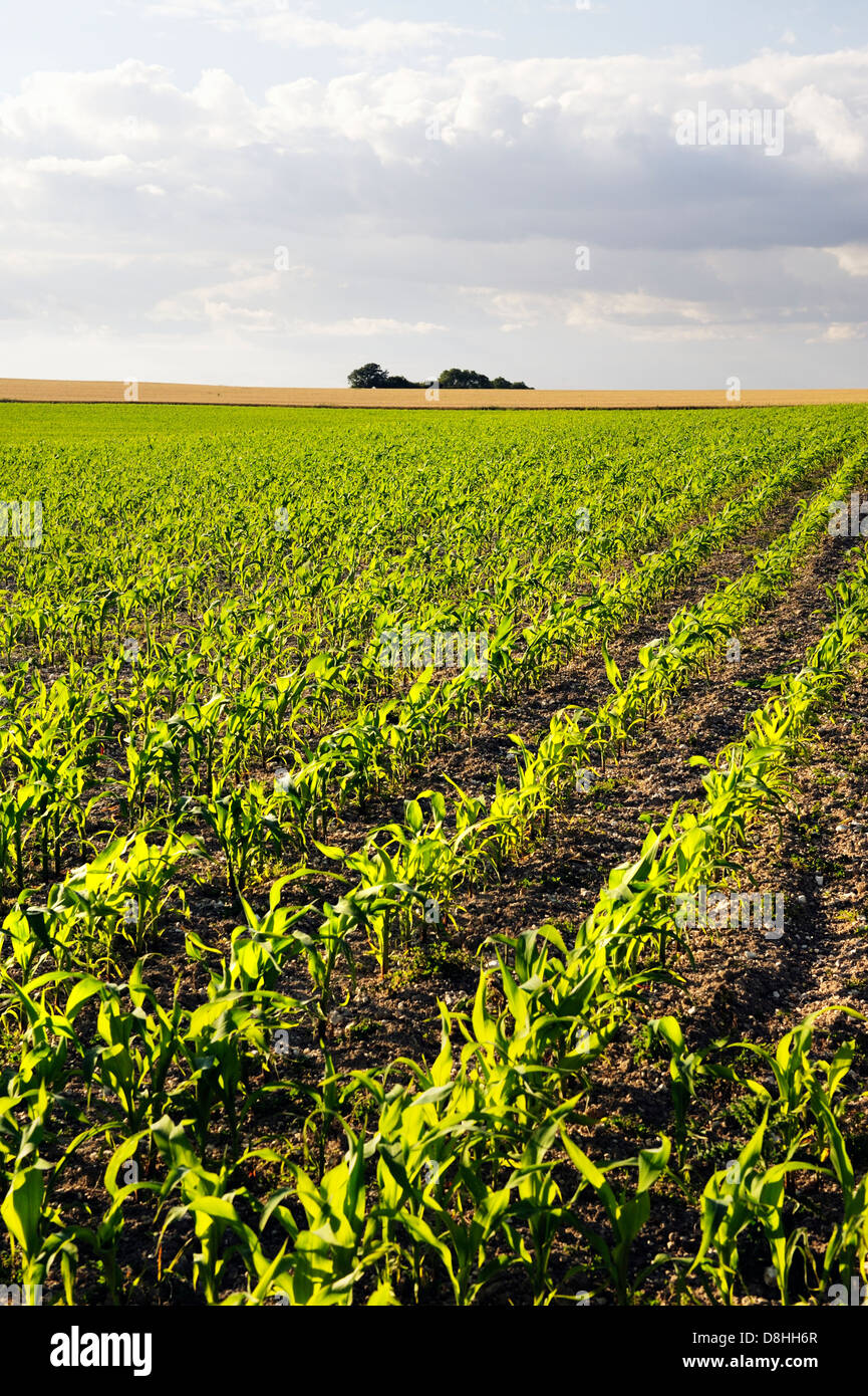Early growth corn on the cob maize sweetcorn seedling seedlings plant plants planted in field rows drills. Oxfordshire, - Stock Image