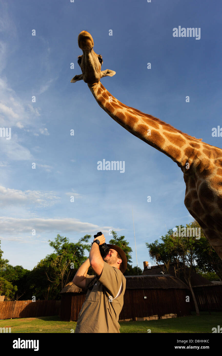 Man photographing giraffe.model released - Stock Image