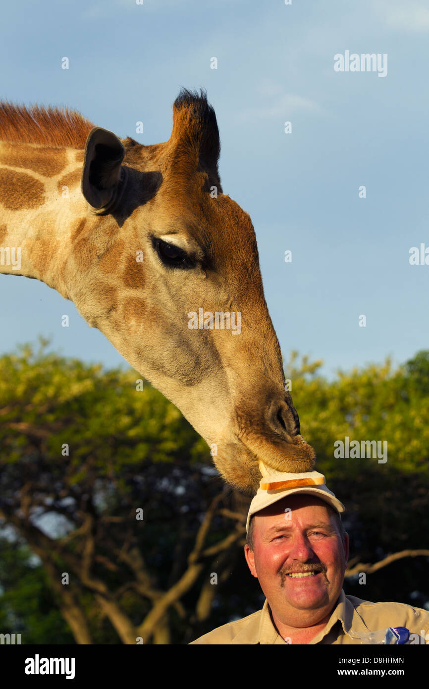 Giraffe eating off man's head.model released. - Stock Image