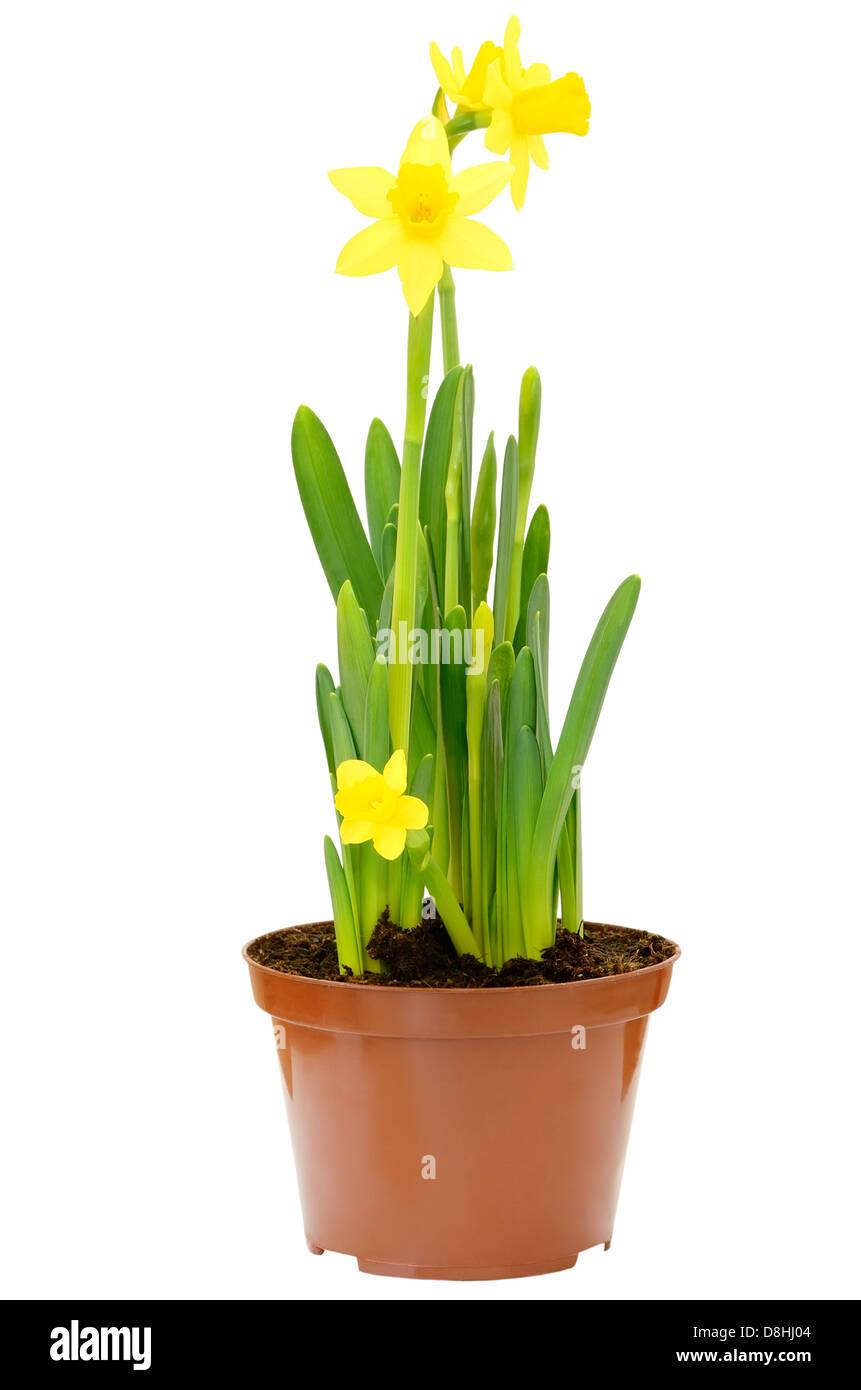 White Narcissus Pot Stock Photos White Narcissus Pot Stock Images