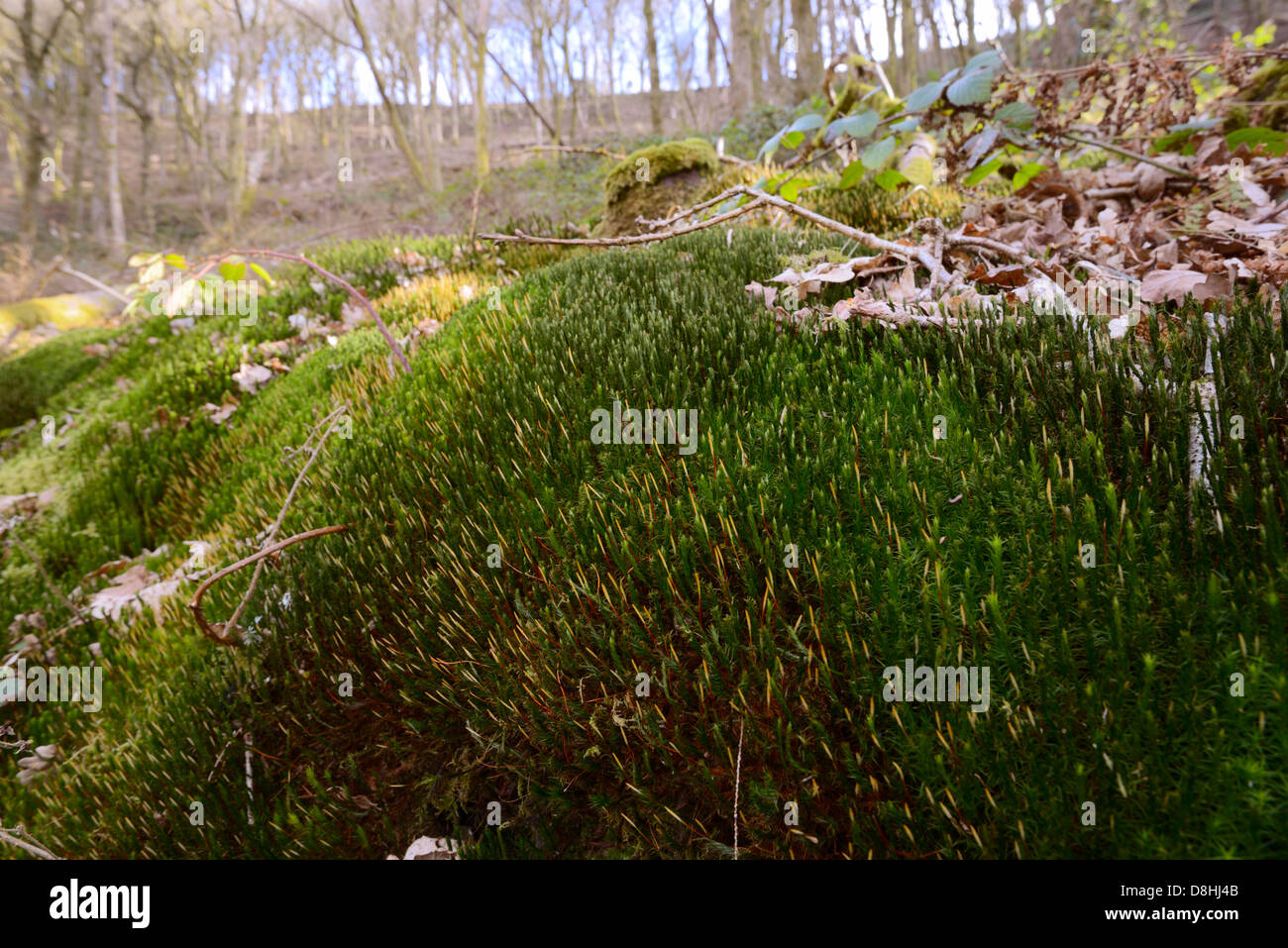 Polytrichum moss growing in broadleaved deciduous woodland recently cleared of conifers, Wales, UK - Stock Image