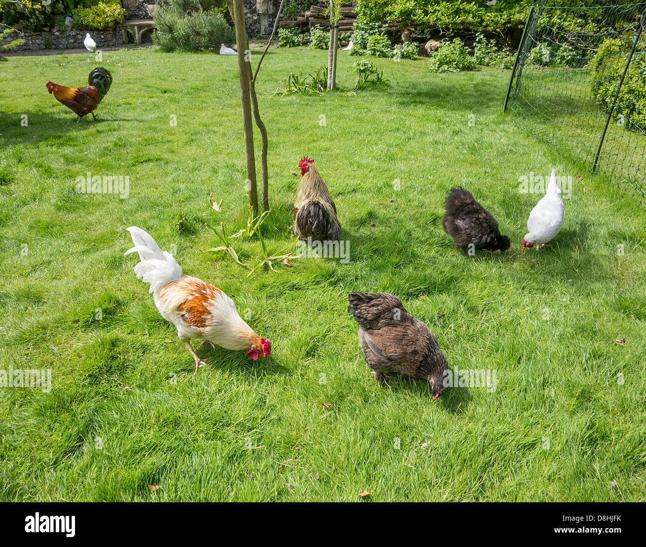 Pet Domestic Chickens in a Garden - Stock Image