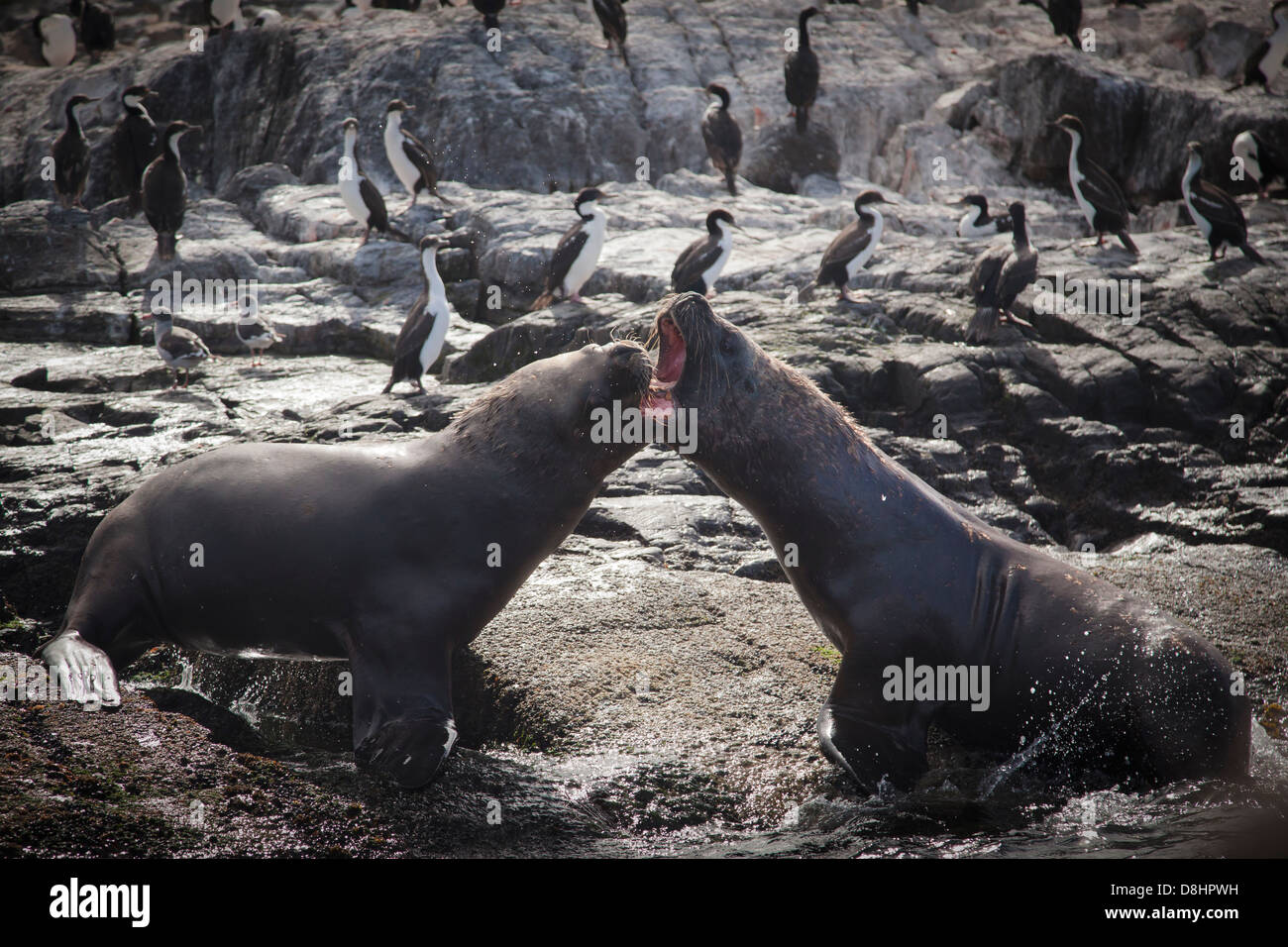 Two young male sea lions (Otaria flavescens) having a fight on the coast of one of many islands in the Beagle Channel, Stock Photo