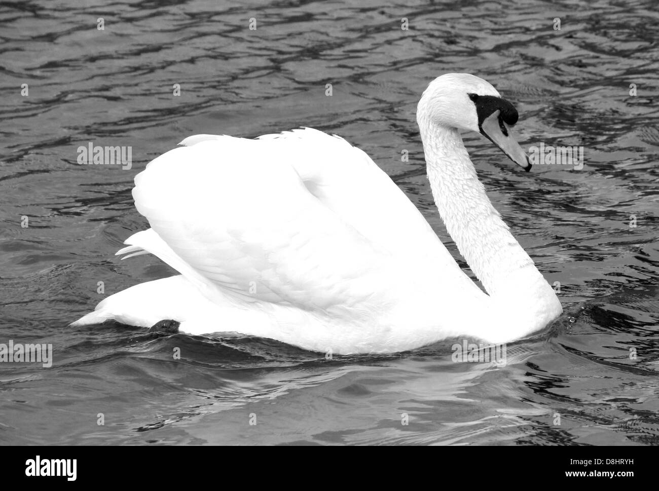 B&W photo of a Swan swimming on The River Thames at Windsor - Stock Image