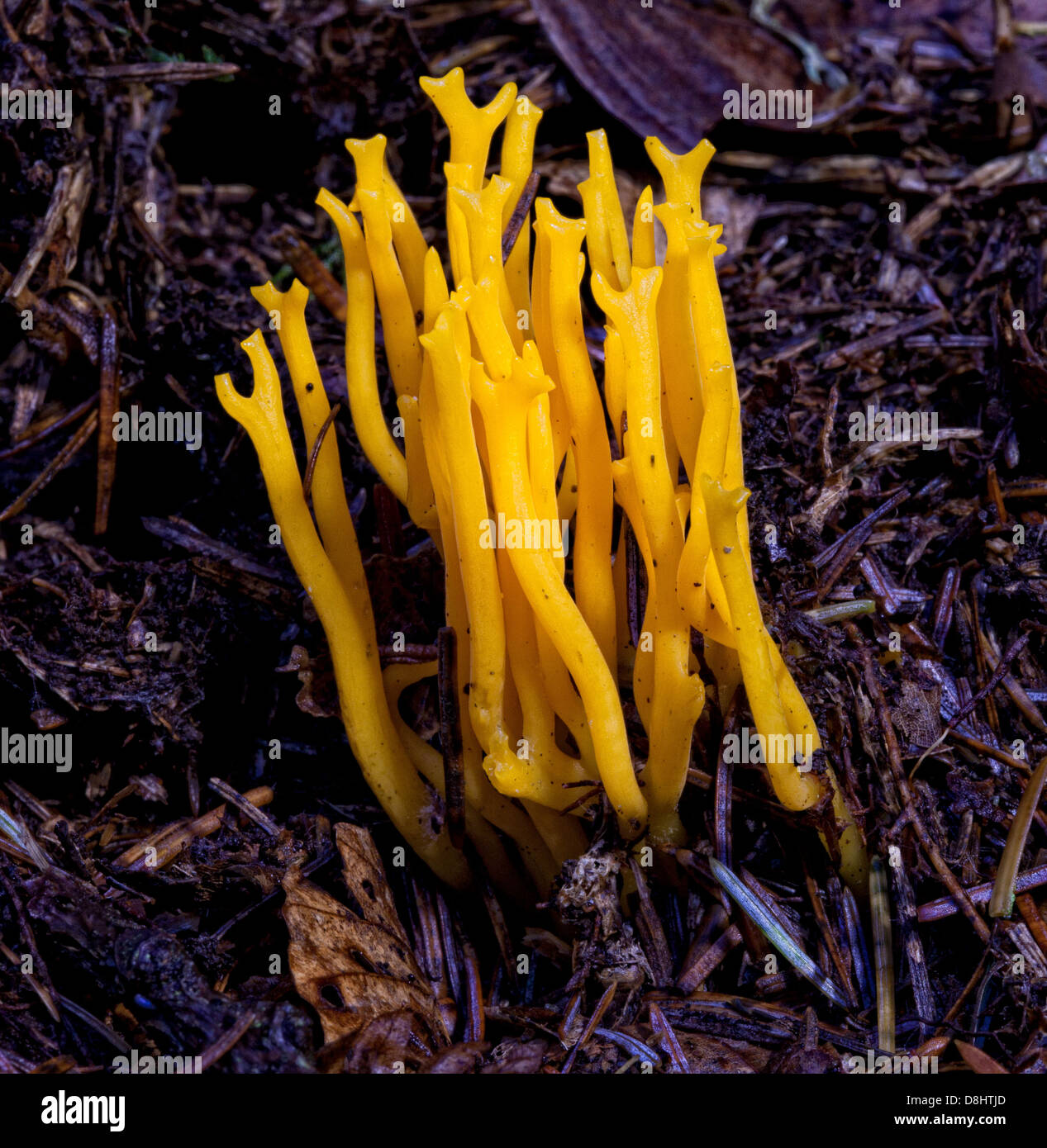Calocera viscosa, commonly known as the yellow stagshorn fungi - Stock Image