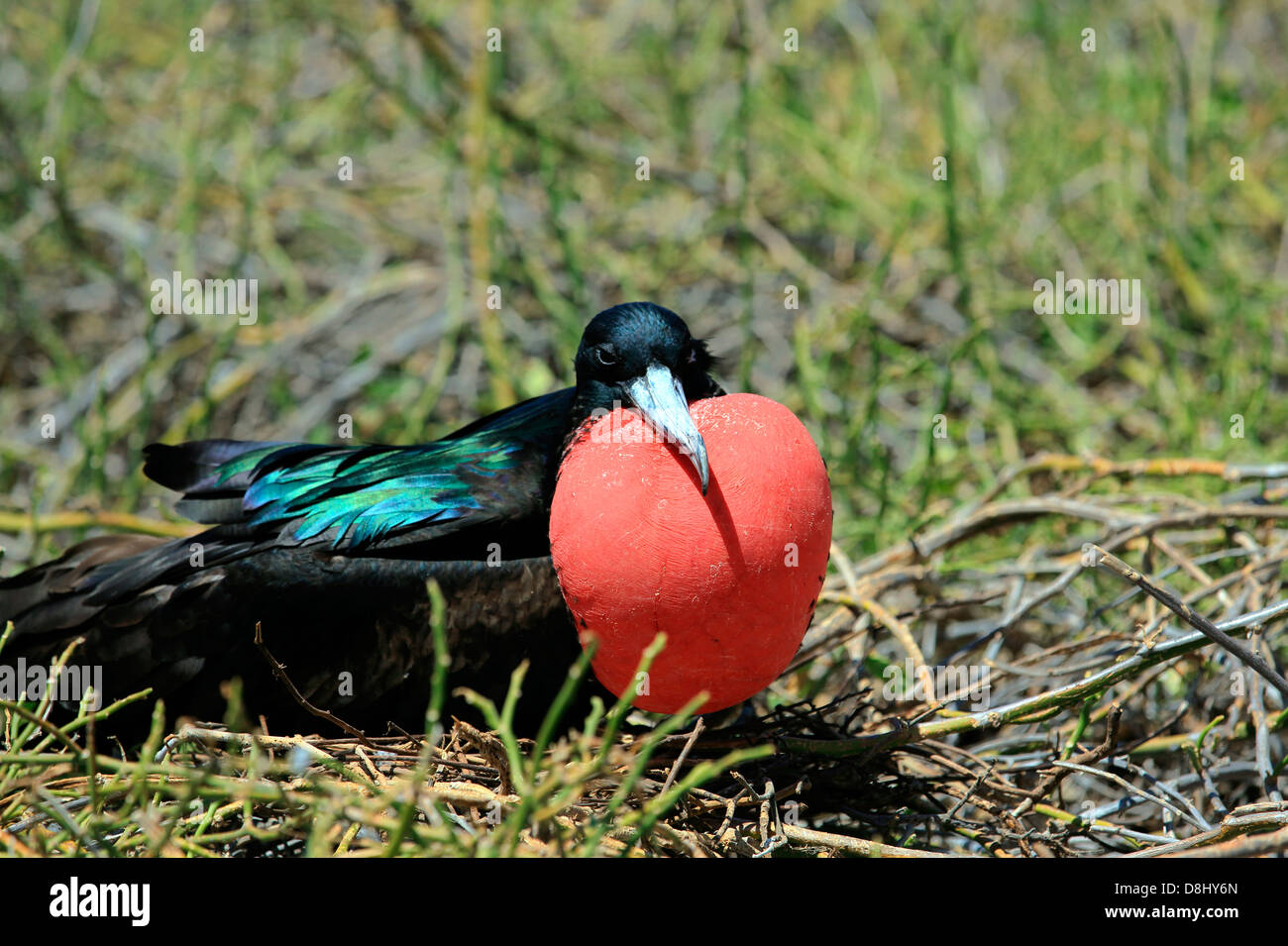 Male Magnificent frigate bird with inflated red gular pouch, Galapagos Islands - Stock Image