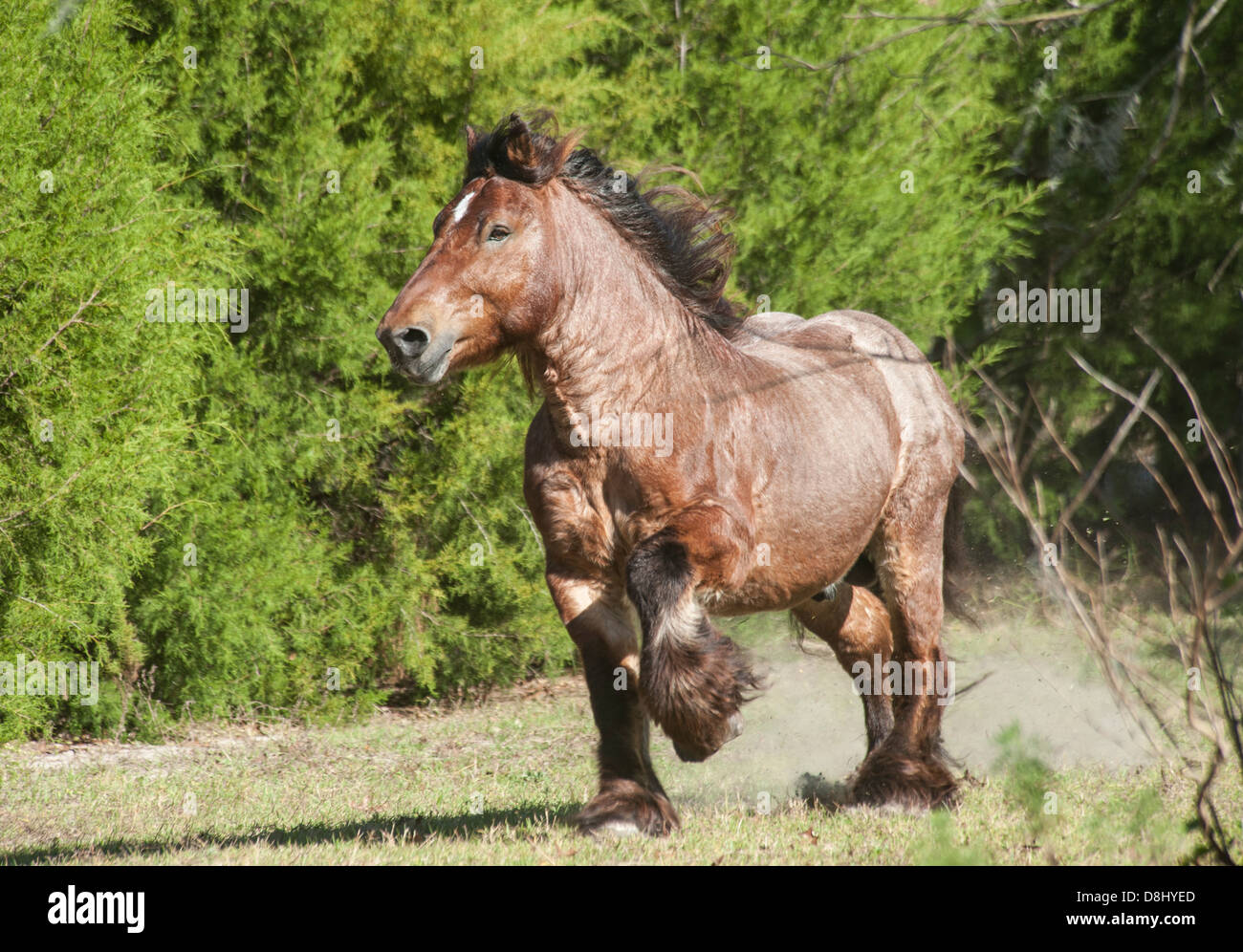 Ardennes Draft Horse stallion - Stock Image