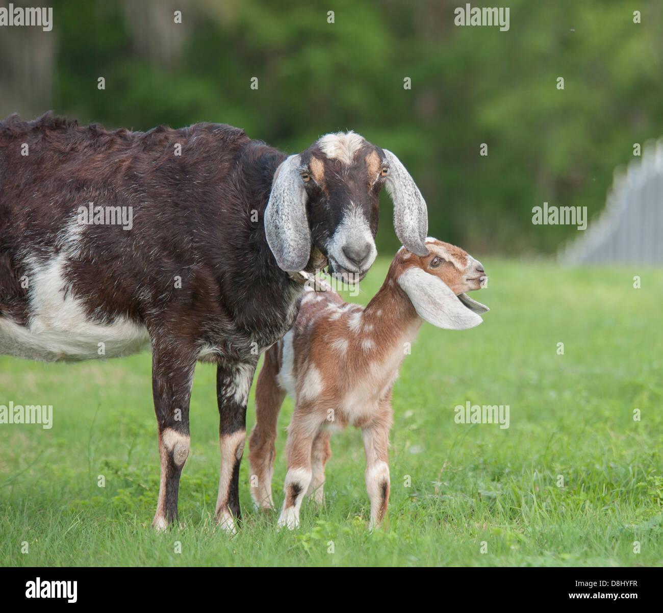 Nubian goat kid and nanny - Stock Image