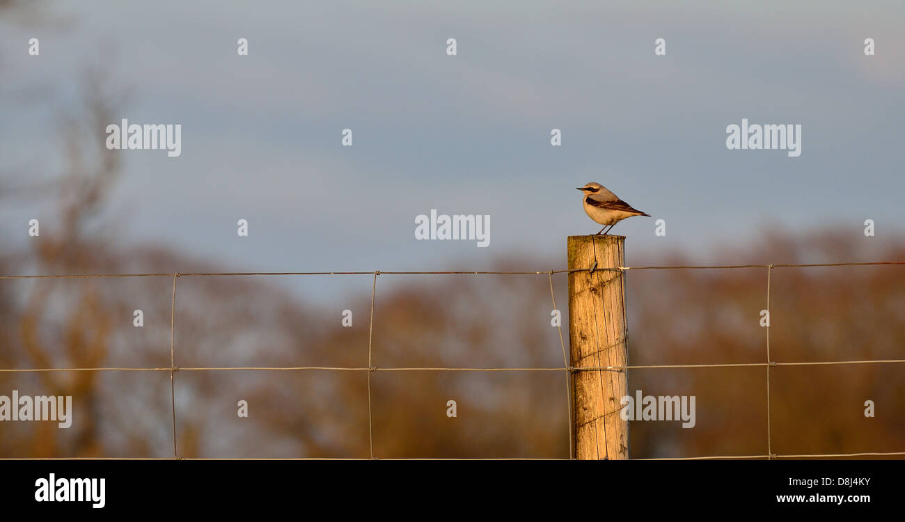 Wheatear sitting on a fence post - Stock Image