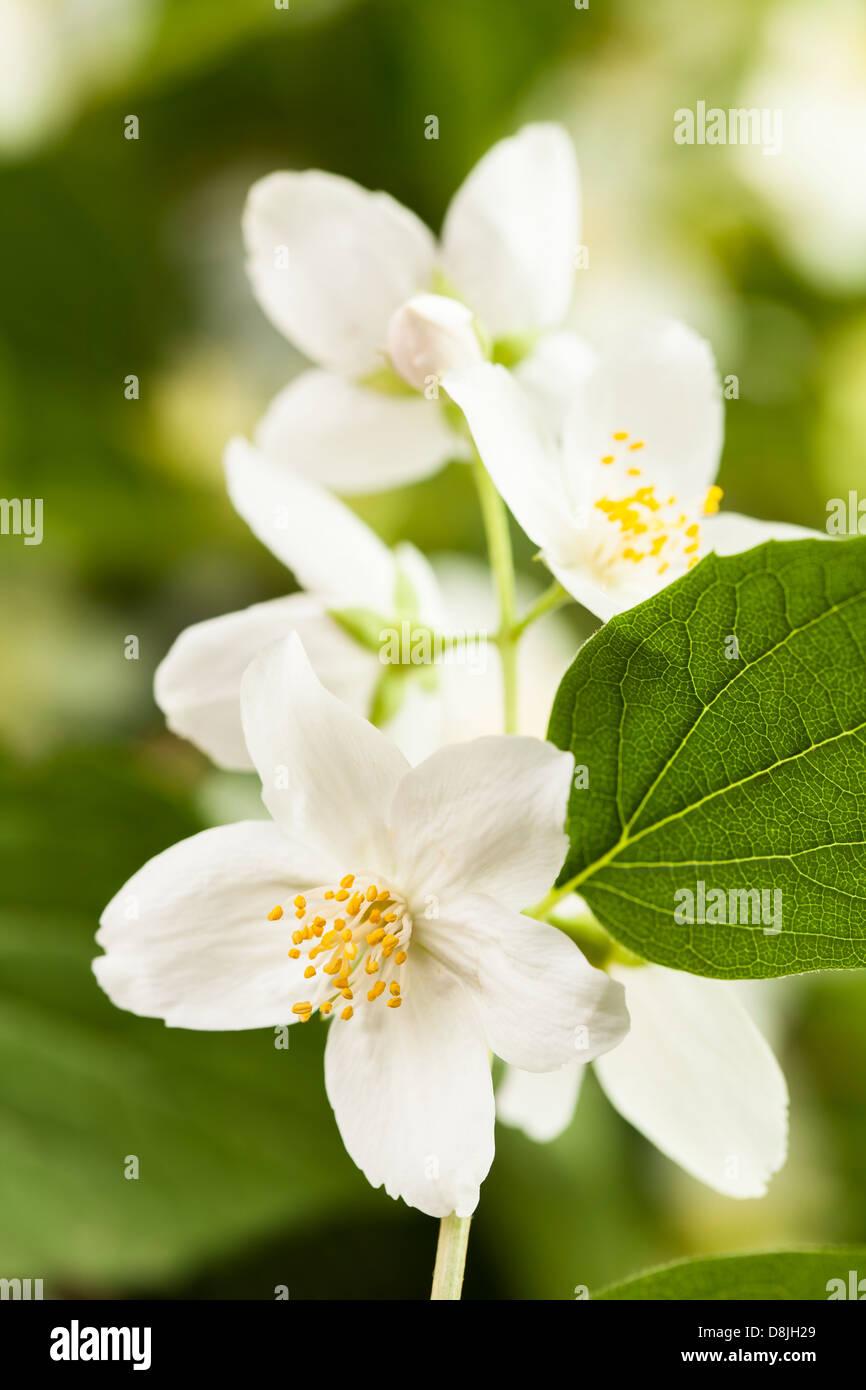 jasmine flower macro closeup leaves - Stock Image