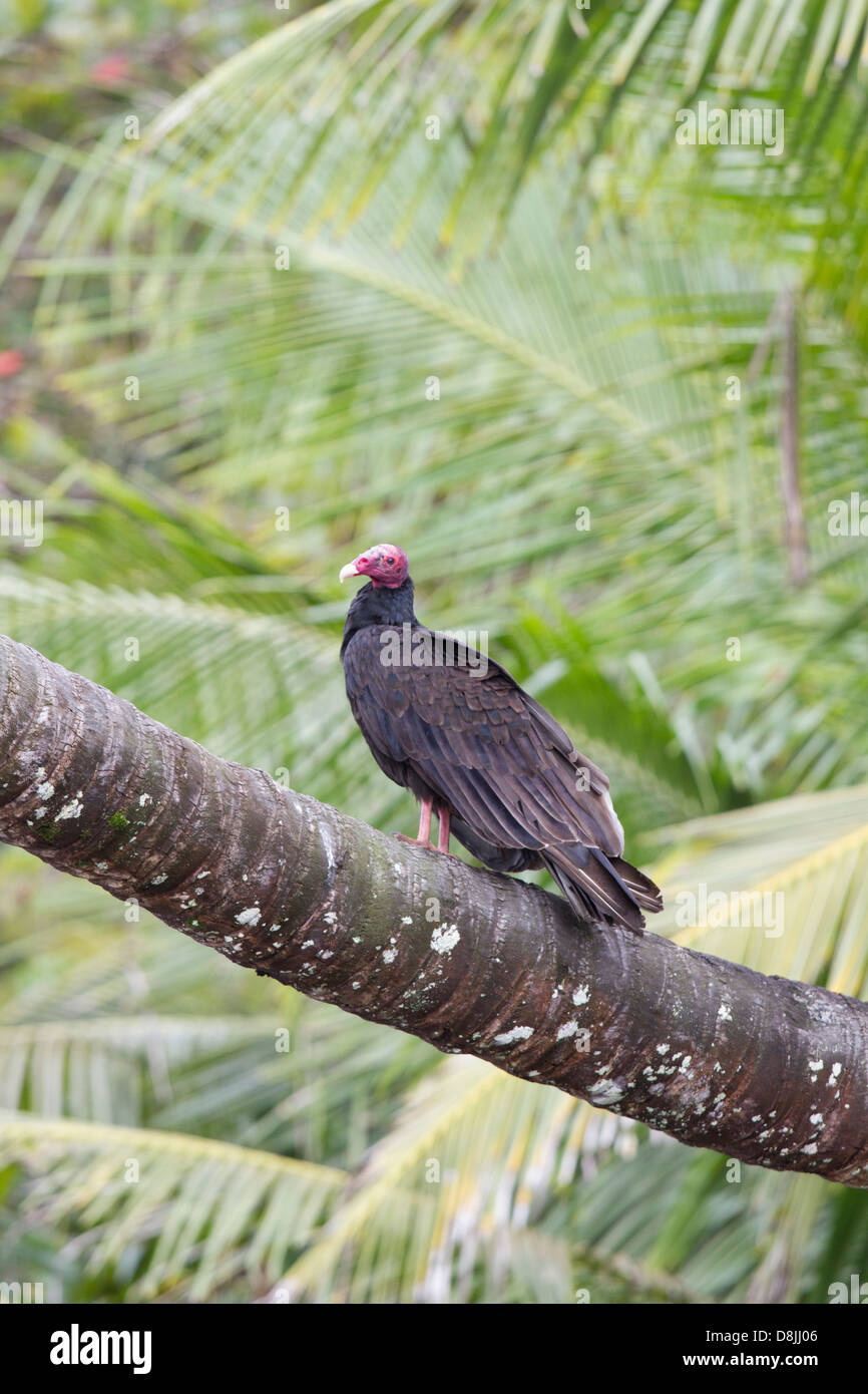 Turkey Vulture, Cathartes aura, Corcovado National Park, Costa Rica - Stock Image