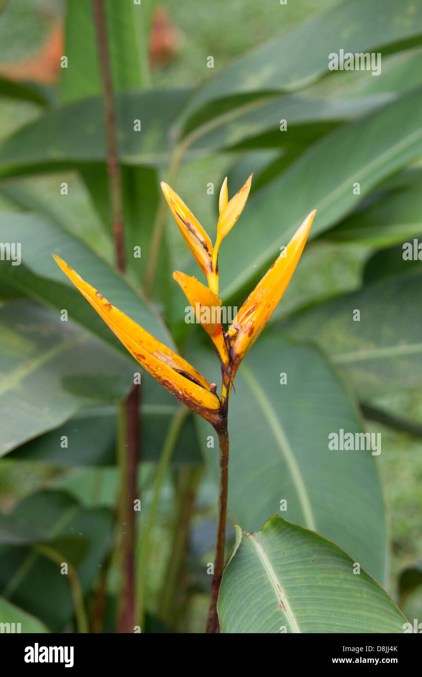 Heliconia, Corcovado National Park, Costa Rica - Stock Image