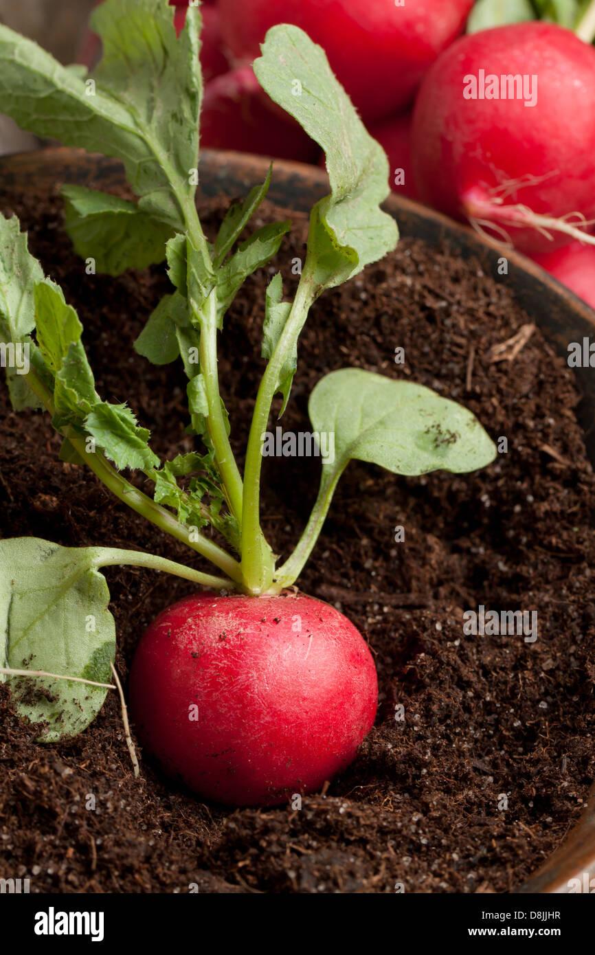 Fresh radish in soil and bunch of fresh radishes - Stock Image