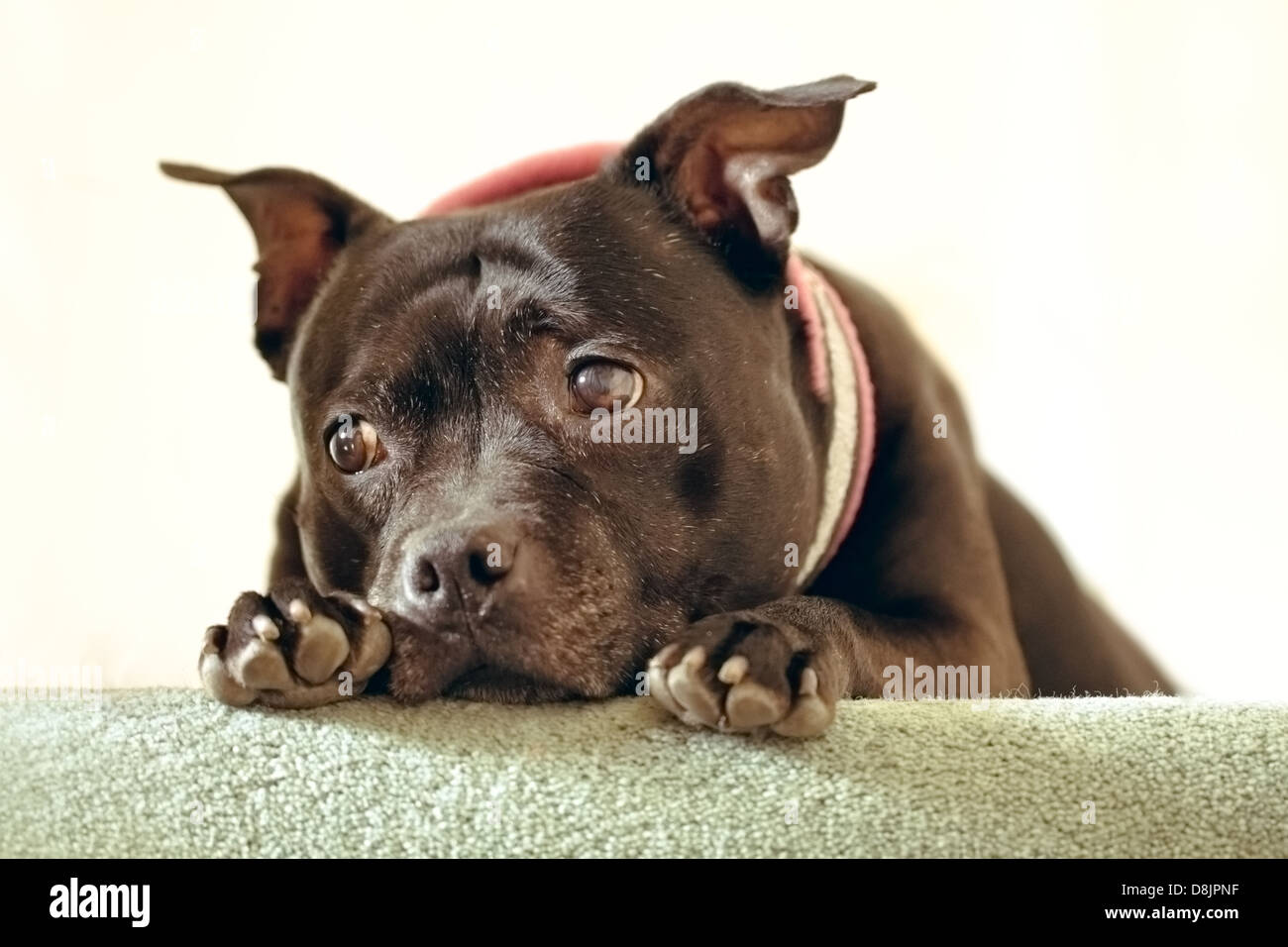 A cute Staffordshire Bull Terrier on a stair - Stock Image