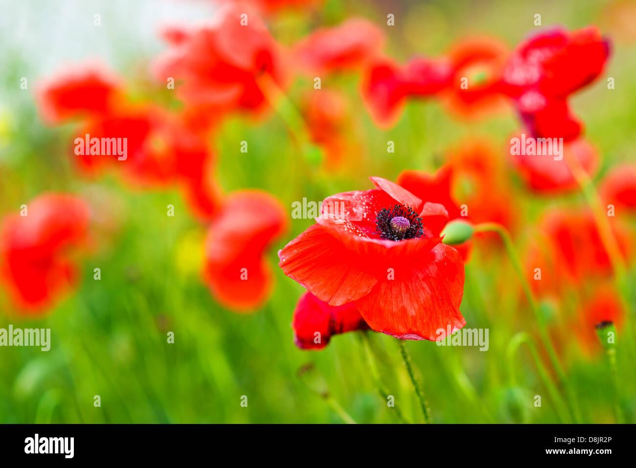 Poppy Flowers Beautiful Scarlet Poppies In The Field As Spring