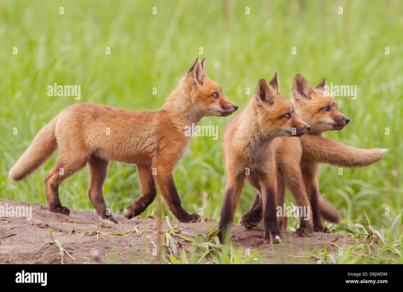 Three Red fox cubs (Vulpes vulpes) looking for ducks. - Stock Image