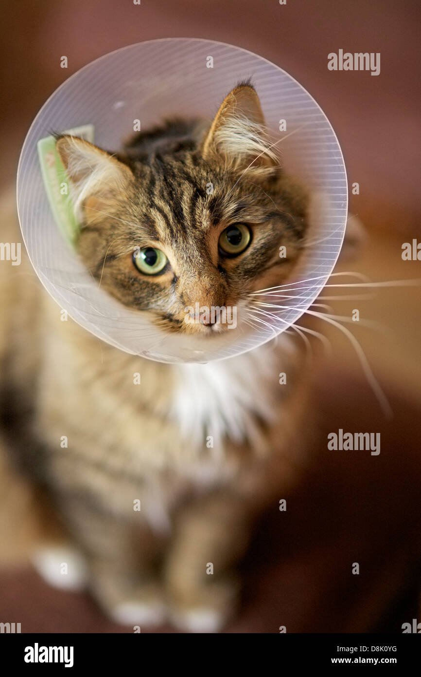 Domestic medium hair cat wearing a plastic protective collar on the neck after the surgery. Stock Photo