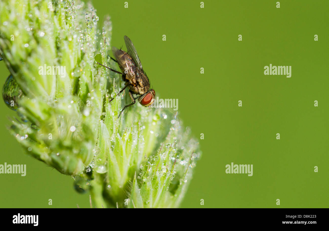 Tachinid fly perched on a leaf with dew. Stock Photo