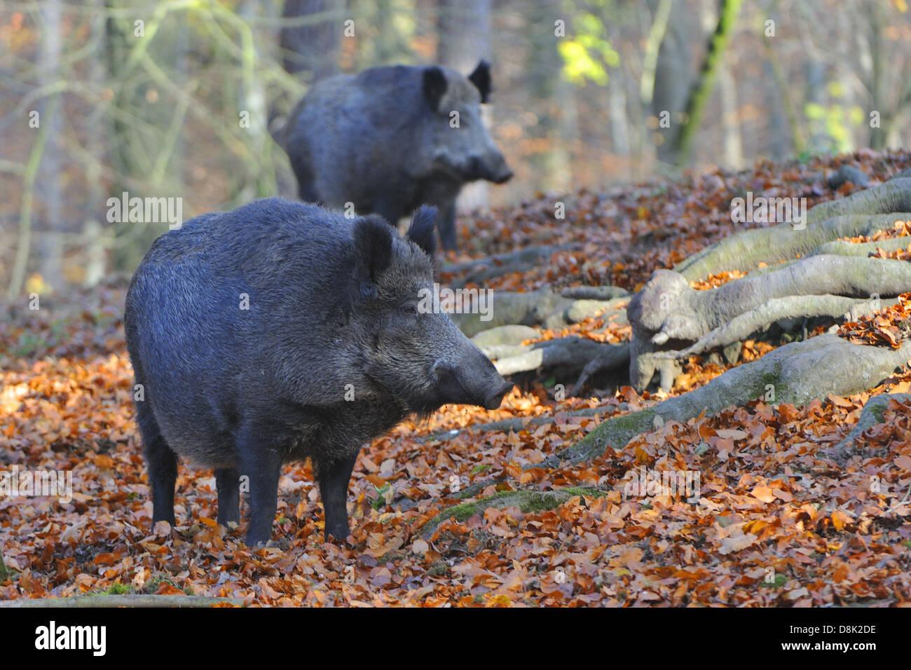 Wild boar - Stock Image