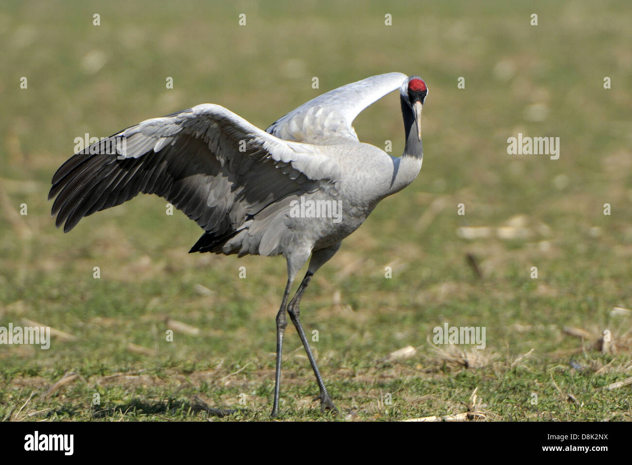 Common Crane Stock Photo