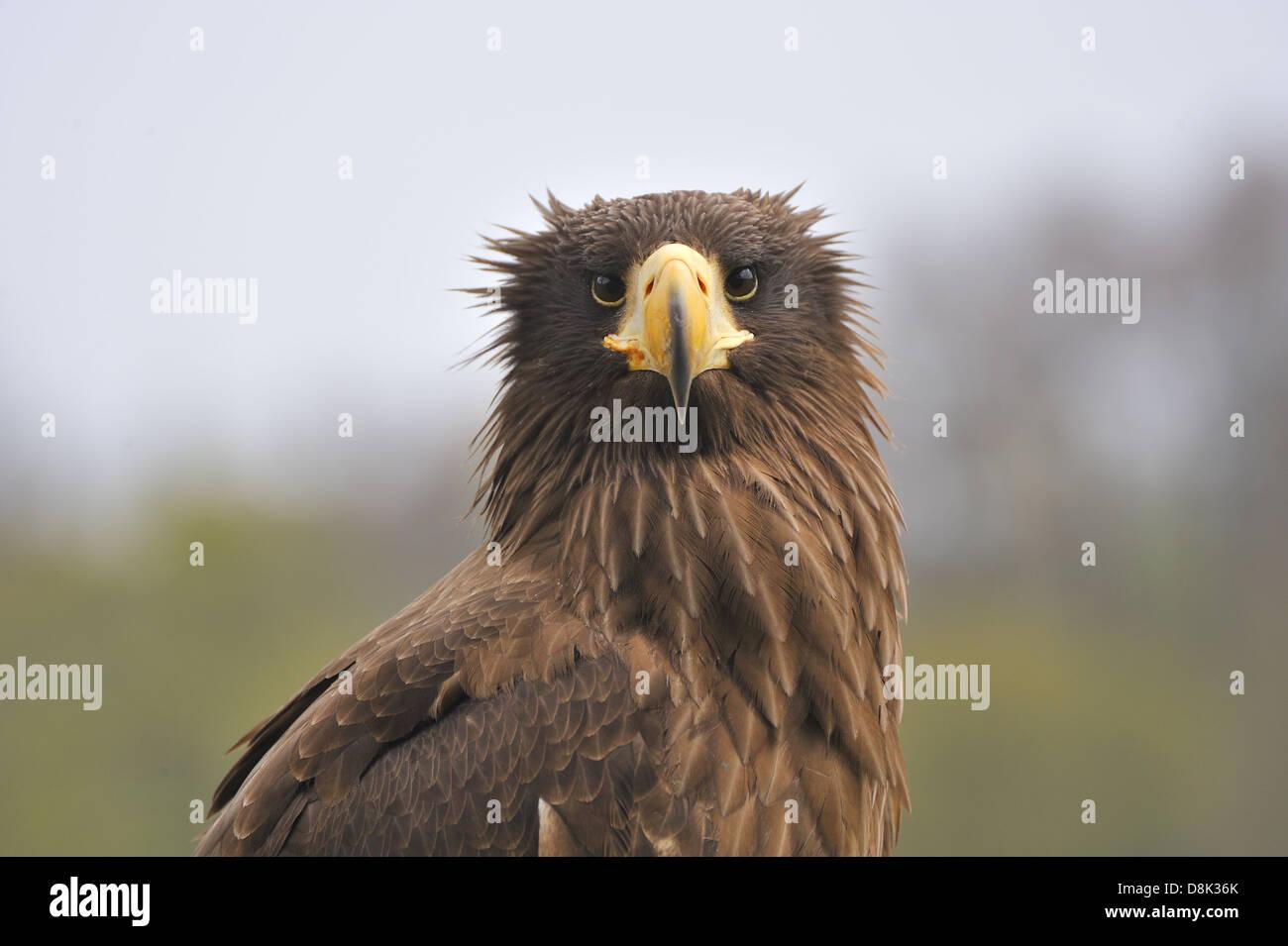 Steller's Sea Eagle - Stock Image