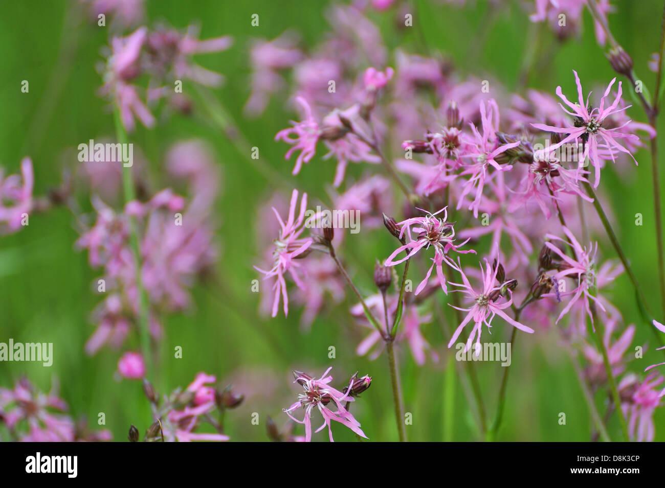 Lychnis flos-cuculi - Stock Image