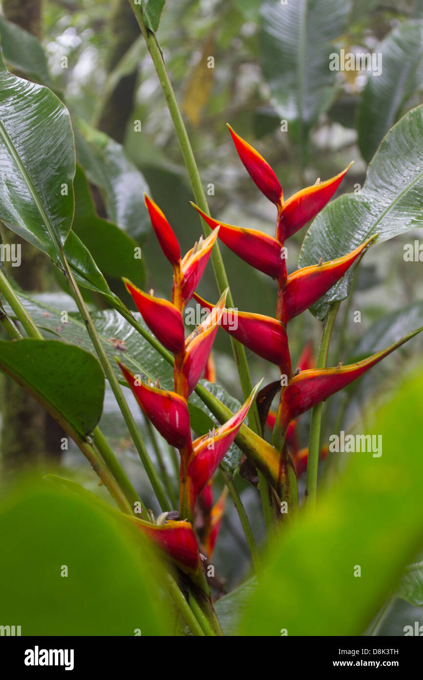 Heliconia, Costa Rica - Stock Image