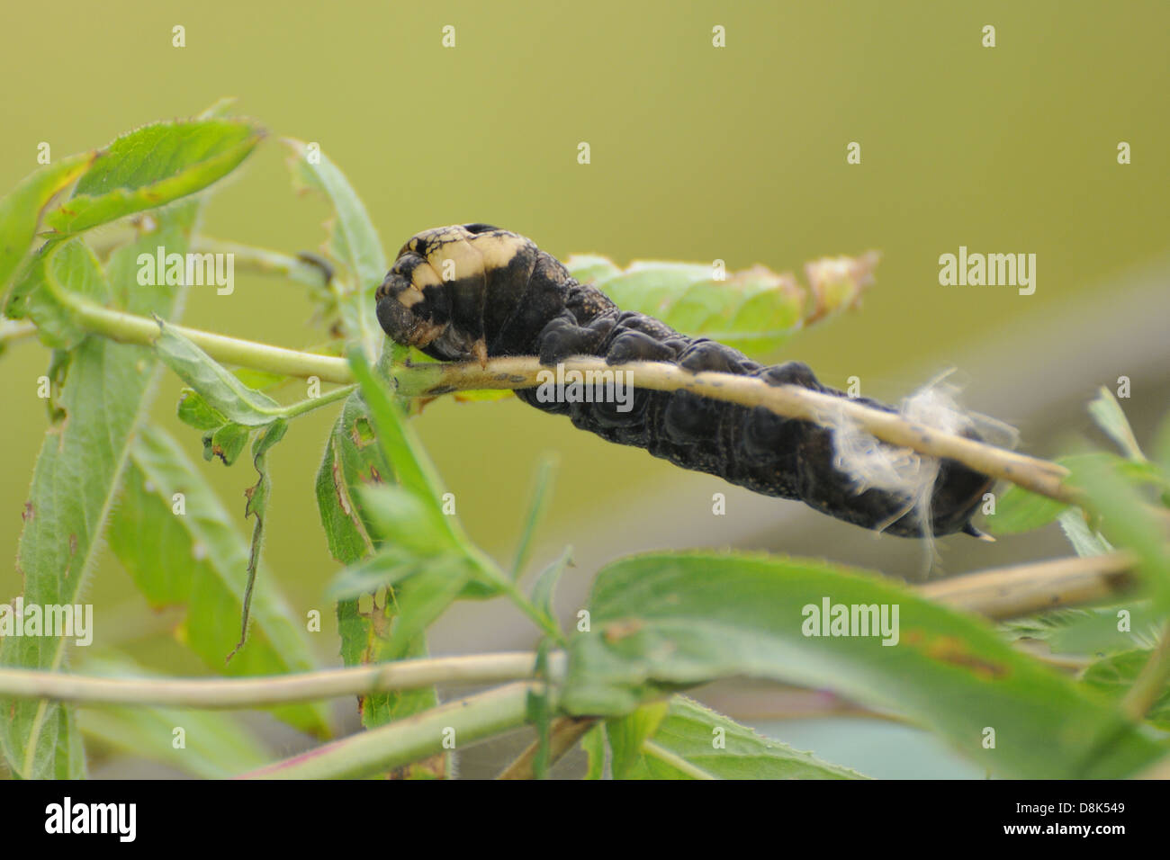 Ddeilephila elpenor - Stock Image