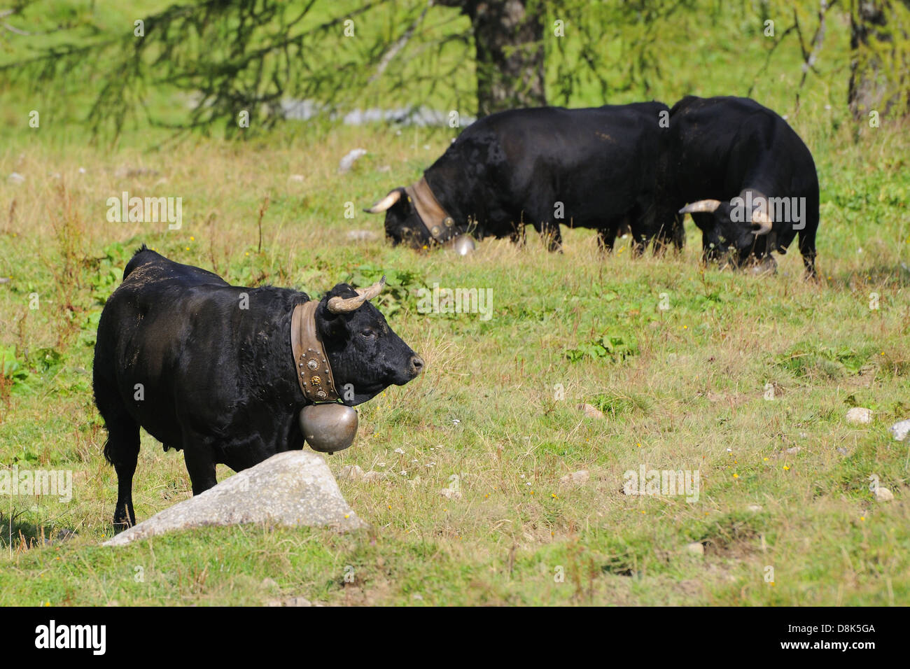 Herens (cattle) Stock Photo