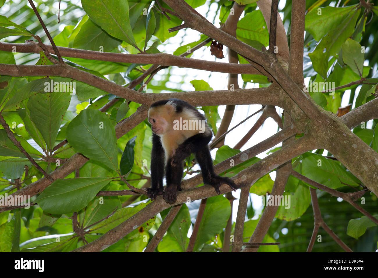 White-faced Capuchin Monkey, Cebus capucinus, Corcovado National Park, Costa Rica Stock Photo