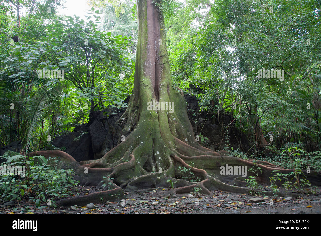 Buttress Roots, Fig Tree, Corcovado National Park, Costa Rica Stock Photo