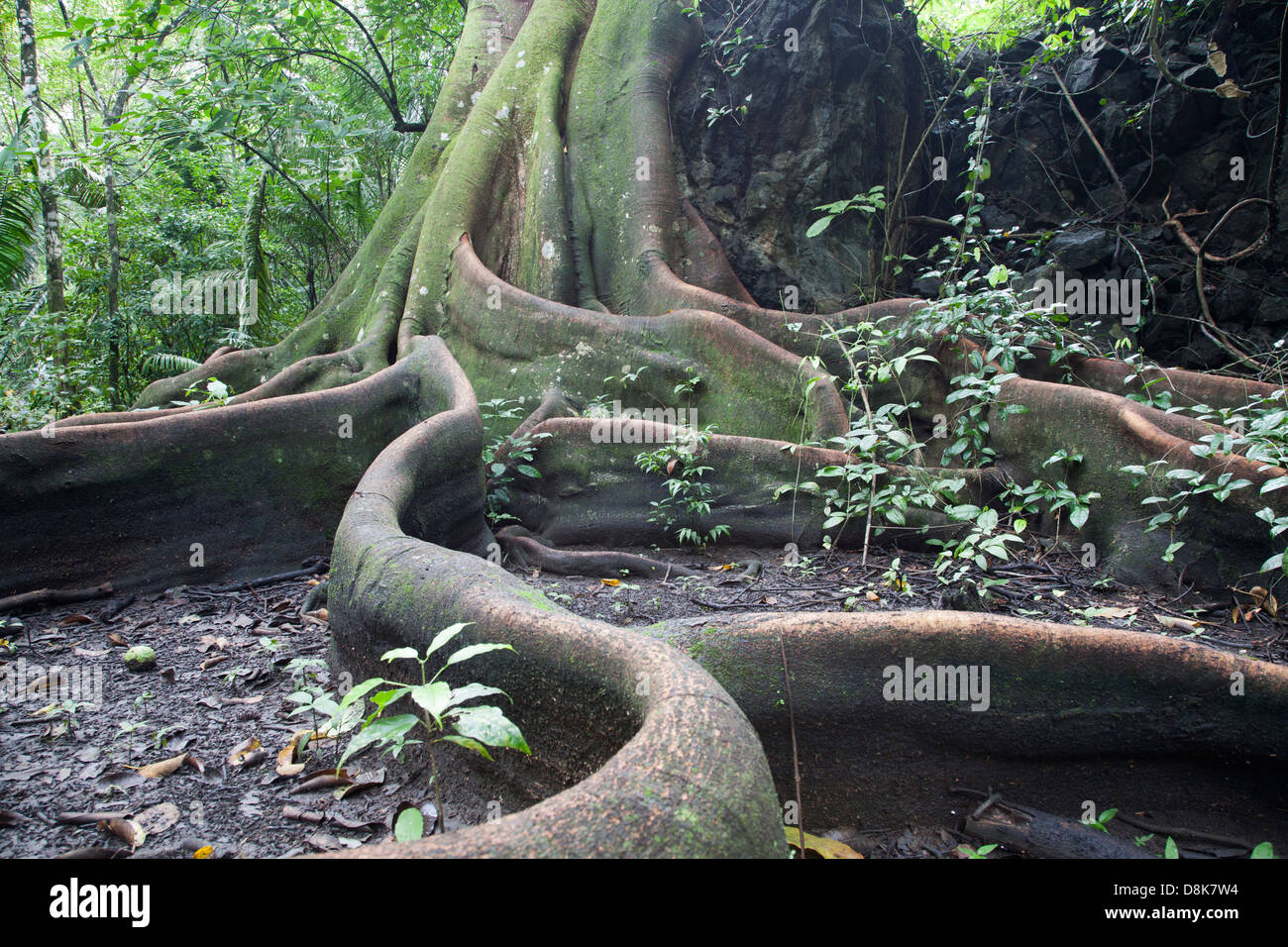 Buttress Roots, Fig Tree, Corcovado National Park, Costa Rica - Stock Image