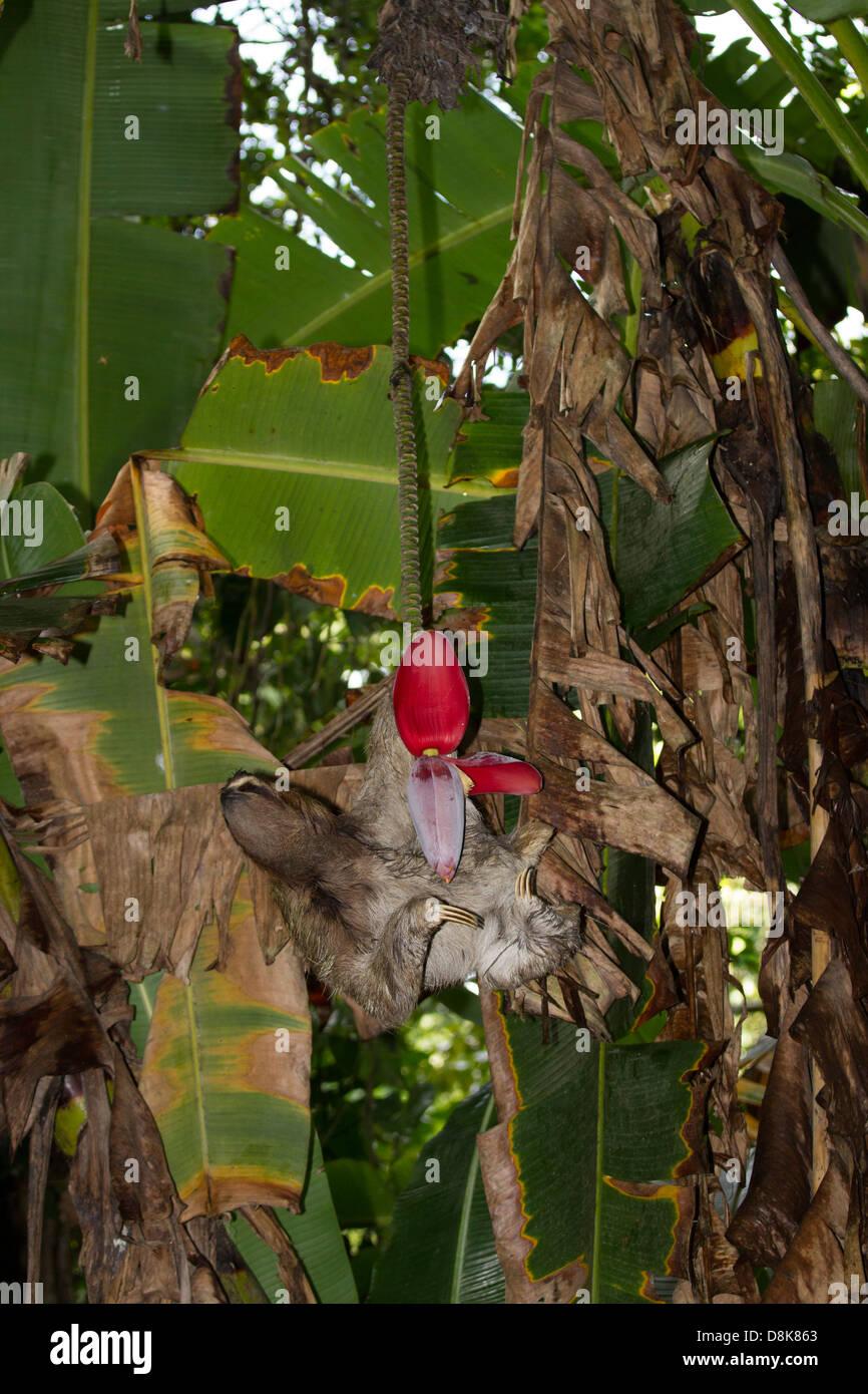 Feeding brown-throated three-toed sloth (Bradypus variegatus), Cahuita National Park, Costa Rica Stock Photo