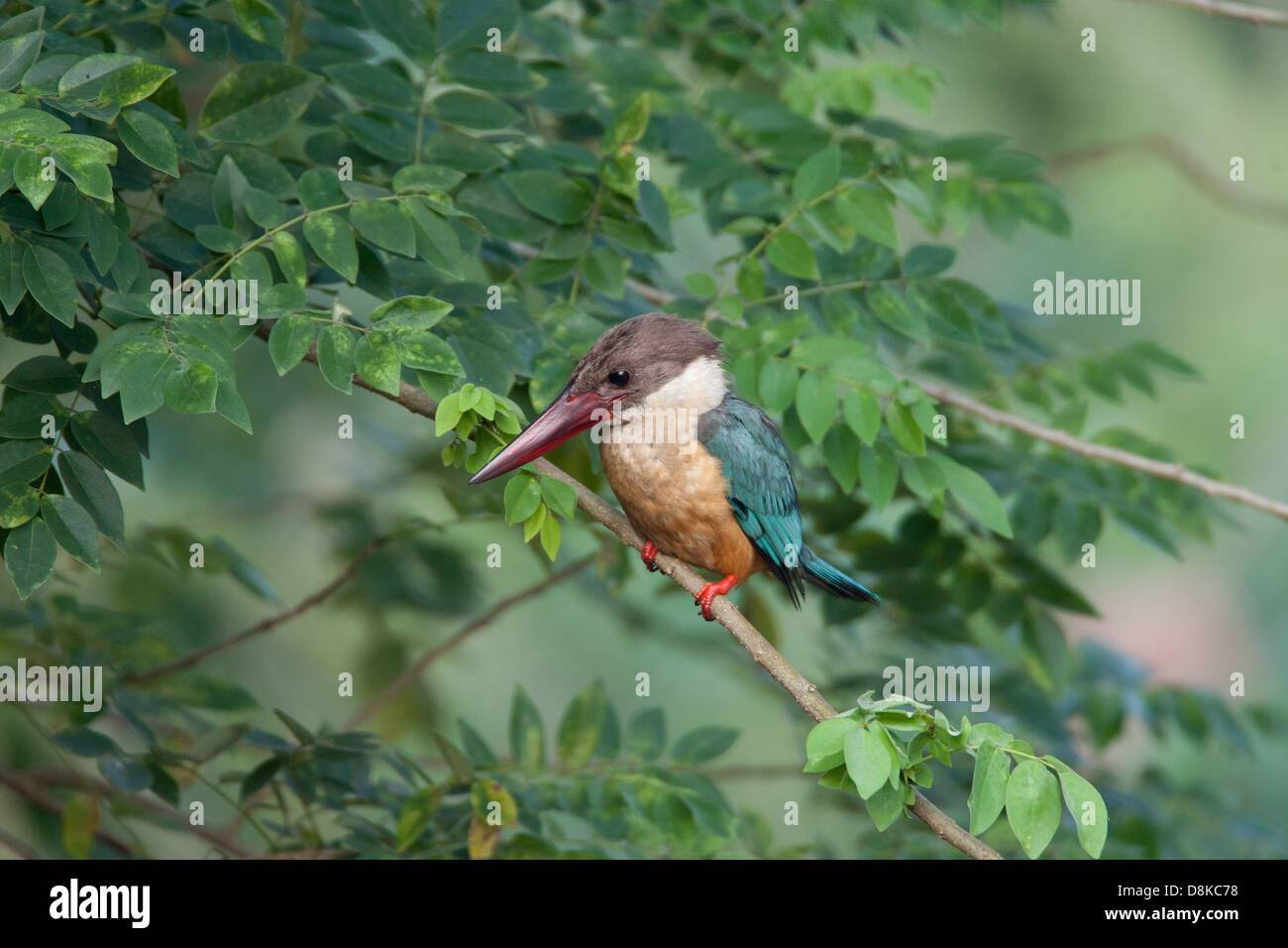 The Stork billed Kingfisher in the monsoons is found inland in the state of Goa, one of the biggest kingfishers - Stock Image