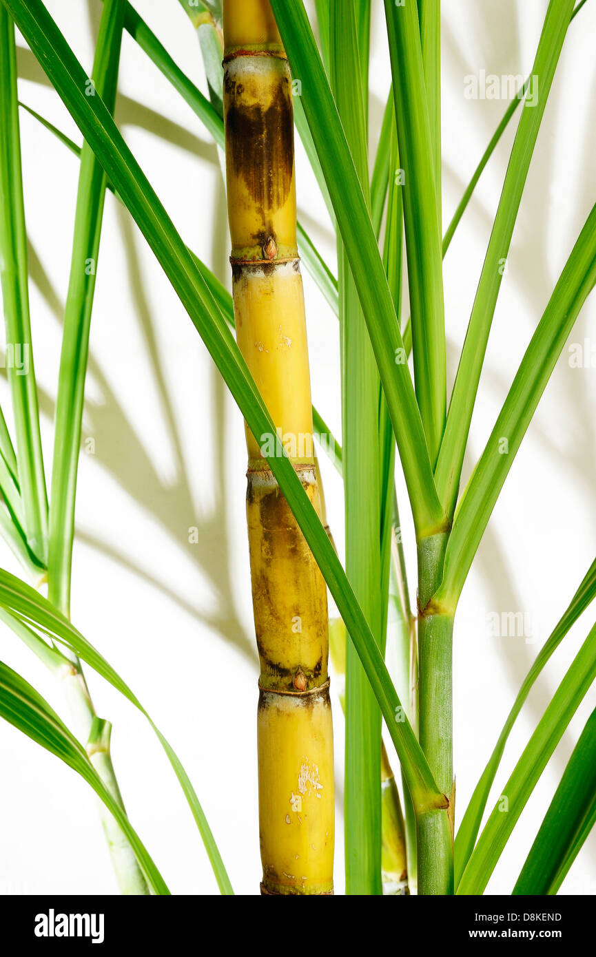 Southern Lagniappe: Sugar, Sugar |Sugar Cane Stalks